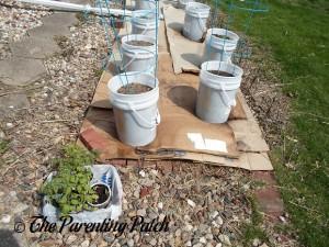 Preparing to Transplant the Small Tomato Plants
