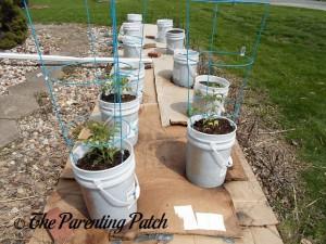 Freshly Transplanted Tomato Plants
