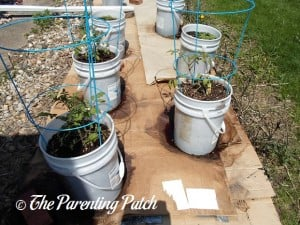 Tomato Plants Growing in Containers 1