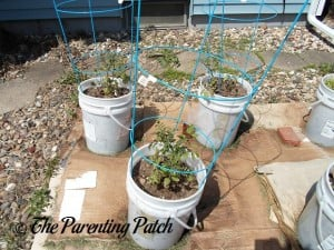 Tomato Plants Growing in Containers 2