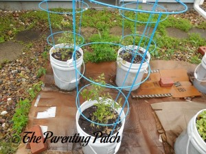 Tomato Plants Growing in Containers 3
