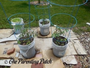 Tomato Plants Growing in Containers 4