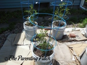 Tomato Plants Growing in Containers 5