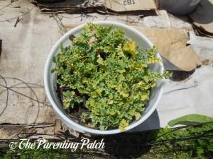 Kale in a Container Garden 3