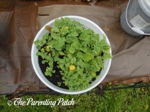 Kale in a Container Garden 1