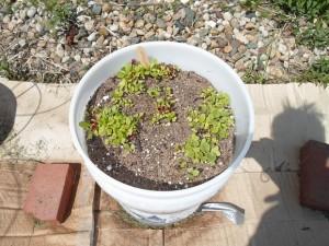 Medium Leaf Lettuce Plants