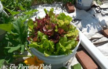 How to Grow Leaf Lettuce in a Home Garden: An Illustrated Guide