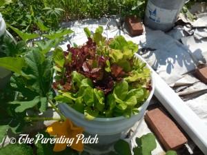 Large Leaf Lettuce Plants