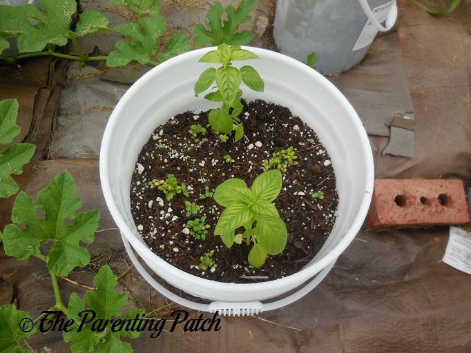 Two Medium Basil Plants