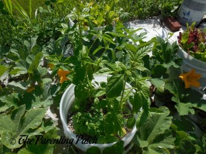 Two Large Basil Plants