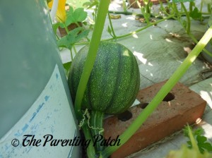 Medium Pumpkin Fruit