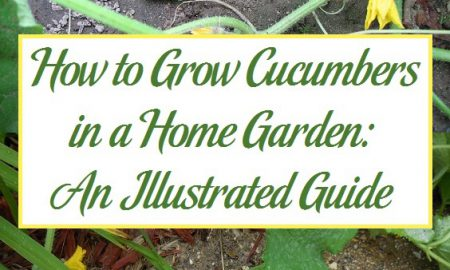 How to Grow Cucumbers in a Home Garden: An Illustrated Guide