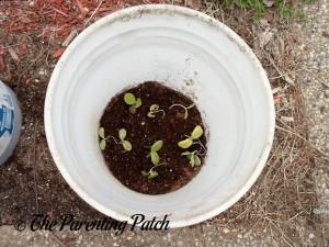 Squash Seedlings Growing