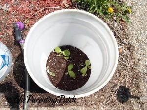 Freshly Watered Squash Seedlings