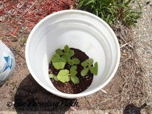 Larger Squash Seedlings