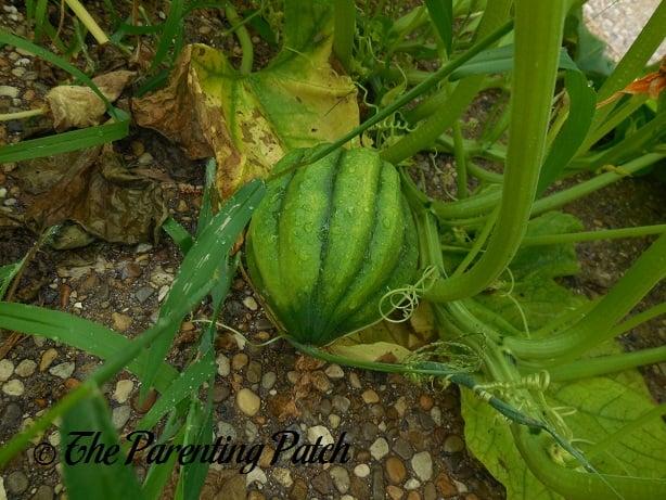 Green Squash Fruit