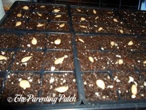 Squash Seeds on Soil