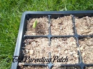 Squash Seedling Emerging