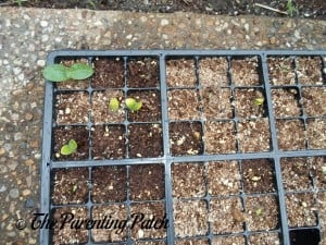 Tiny Squash Seedlings