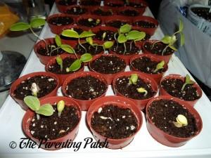 Small Squash Seedlings