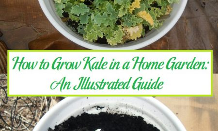 How to Grow Kale in a Home Garden: An Illustrated Guide