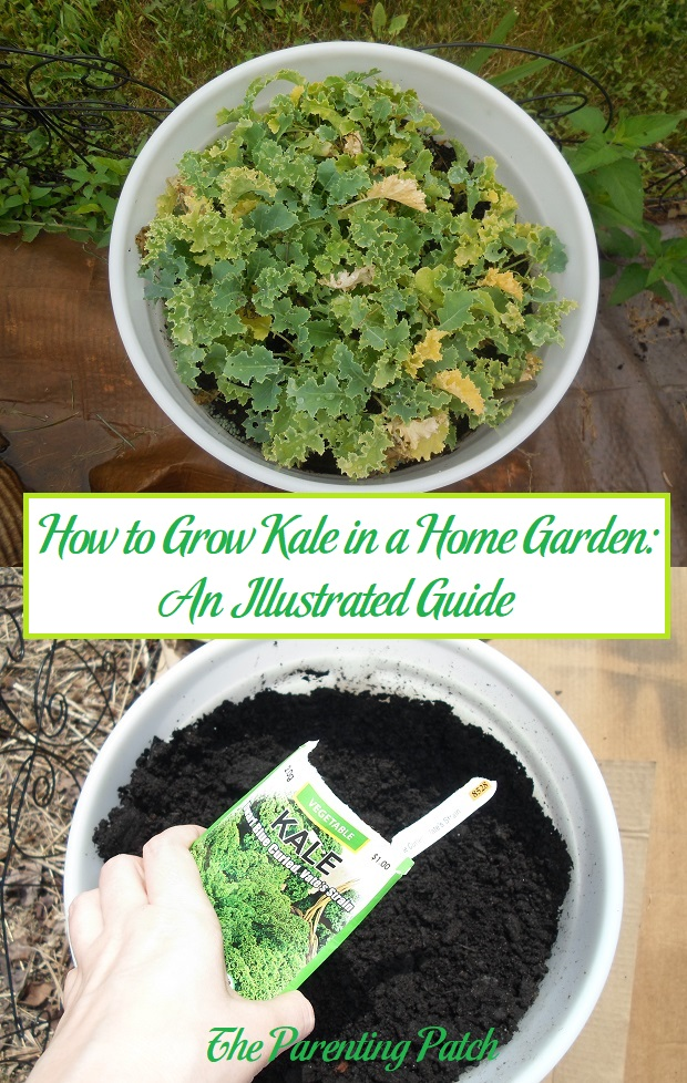 How To Grow Kale In A Home Garden An Illustrated Guide