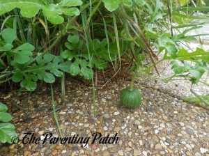 Tiny Dark Green Watermelon