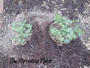 Watermelon Seedlings Growing Large