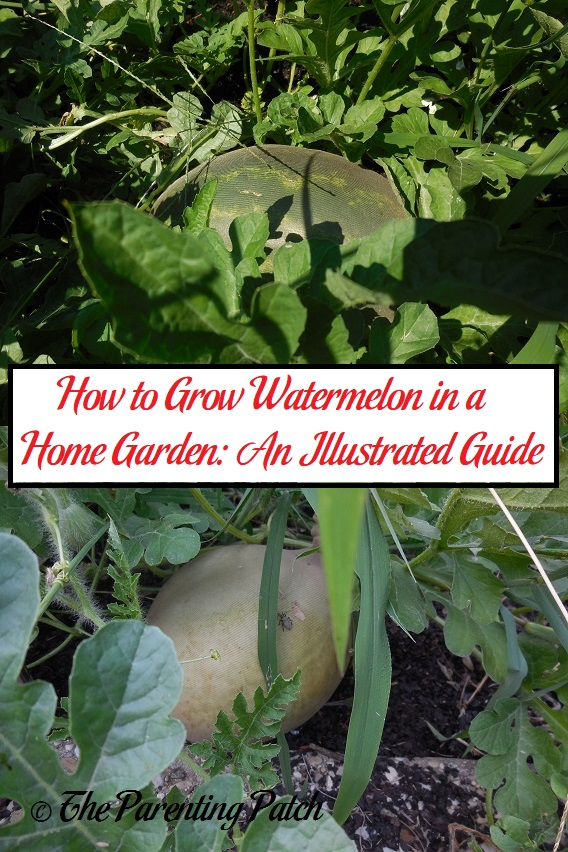 How to Grow Watermelon in a Home Garden: An Illustrated Guide