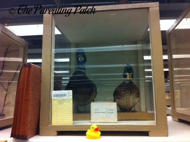 The Duck and the Taxidermy Ducks