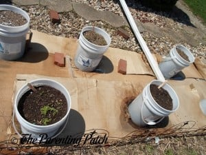 Spinach Seedlings 1