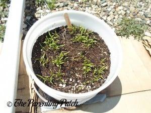 Spinach Seedlings 2