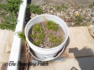 Spinach Seedlings 3