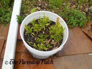 Smaller Spinach Plants