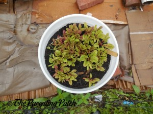 Growing Swiss Chard in a Home Garden 4