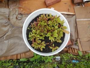 Growing Swiss Chard in a Home Garden 4