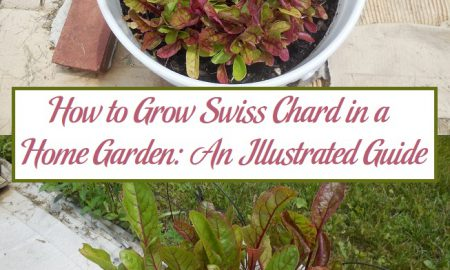 How to Grow Swiss Chard in a Home Garden: An Illustrated Guide