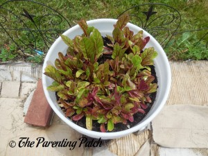 Growing Swiss Chard in a Home Garden 5
