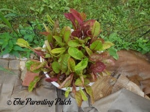 Growing Swiss Chard in a Home Garden 8
