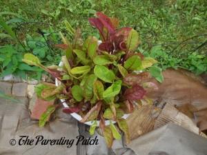 Growing Swiss Chard in a Home Garden 8