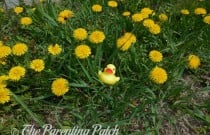 The Duck and the Dandelions: The Rubber Ducky Project Week 19