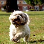 Bailey the Shih-Tzu Running in the Park