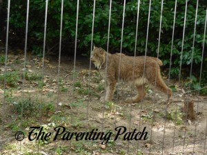 Lynx at the Queens Zoo