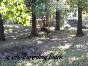 Roosevelt Elk at the Queens Zoo