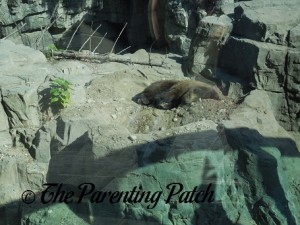 Grizzly Bear at the Central Park Zoo 1