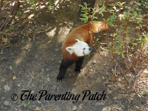 Red Panda at the Central Park Zoo 2