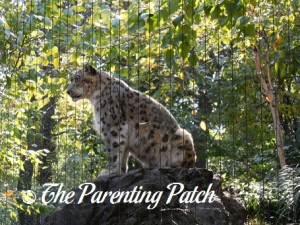 Snow Leopard at the Central Park Zoo 2