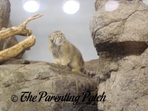 Pallas Cat at Prospect Park Zoo