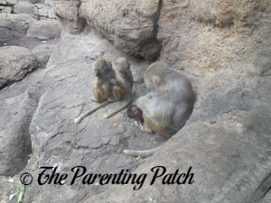 Mother and Young Baboons at Prospect Park Zoo