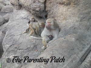 Young Baboons and Mother Baboon Nursing Baby Baboon at Prospect Park Zoo